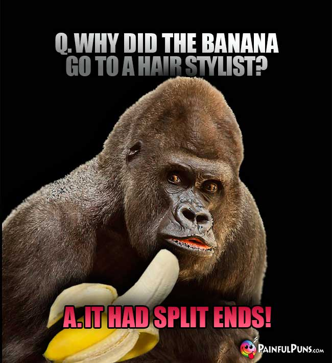 Gorilla asks: Why did the banana go to a hair stylist? A. It had split ends!