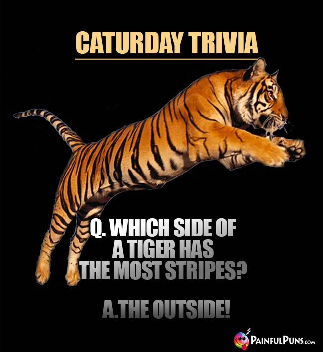 Caturday Trivia: Which side of a tiger has the most stripes? A. The Outside!