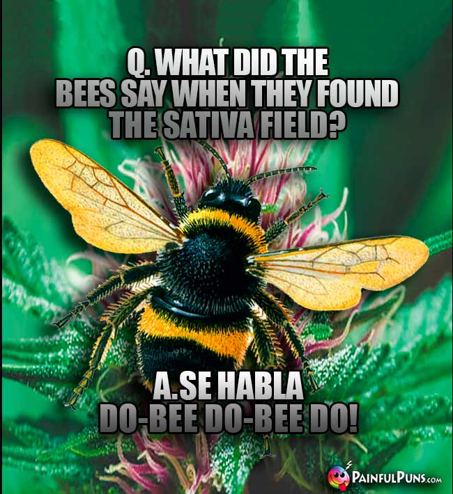 Q. What did the bees say when they found the sativa field? A. Se Habla Do-Bee Do-Bee do!